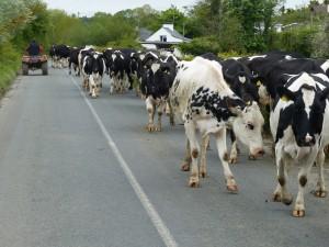 451-vaches sur la route (1280x960)