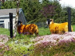 069-étranges moutons (1280x960)